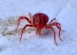 traitement araignées rouge alsace