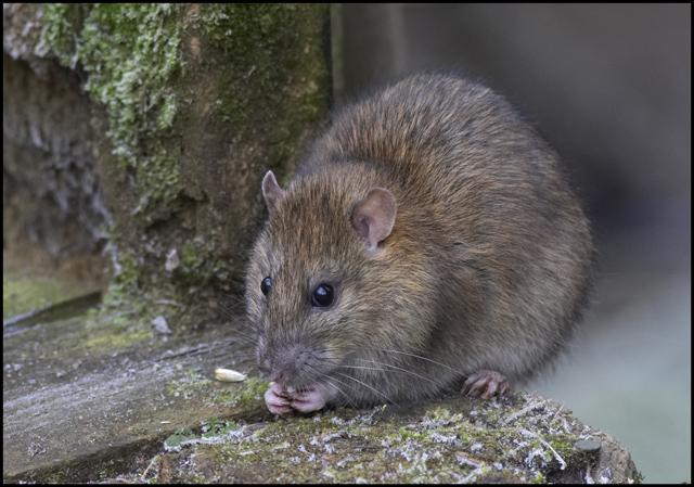 traitement rats bruns alsace