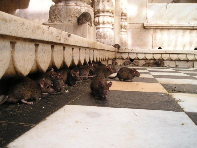 traitement rats noirs alsace
